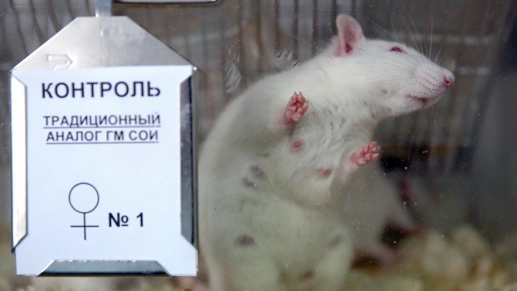 Лабораторная крыса, на которой испытывают трансгенную сою, в клинике НИИ питания РАМН.